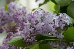 Grande branche encombrante molle de lilas avec cinq fleurs de pétale Photo libre de droits