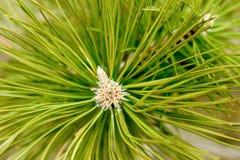 Grande branche pelucheuse de pin Photos stock