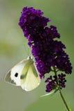 Grande branco no arbusto de borboleta Imagem de Stock