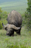 Grande bufalo africano Immagini Stock Libere da Diritti