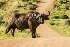 Grande bufalo africano che sta su una strada della ghiaia Immagini Stock Libere da Diritti