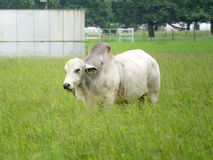 Grande bufalo bianco Fotografia Stock Libera da Diritti