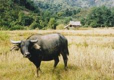 Grande bufalo difettoso Immagini Stock