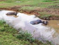 Grande bufalo tailandese Fotografie Stock Libere da Diritti