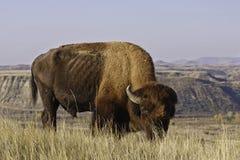 Grande Buffalo Fotografia Stock