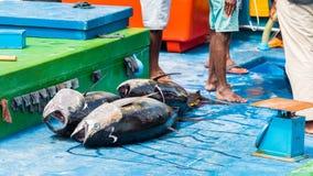 Grande bugia del tonno tre sulla piattaforma, maschio, Maldive Copi lo spazio per testo fotografia stock