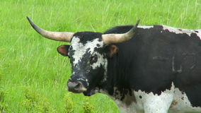 Grande Bull