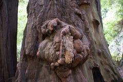 Grande burl da sequoia vermelha, Muir Woods, Califórnia Imagem de Stock