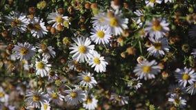 Grande Bush da camomila de florescência bonita filme