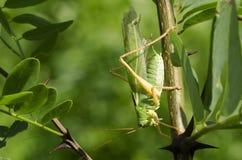 Grande bushcricket verde fotografie stock