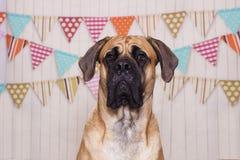 Grande cão Foto de Stock