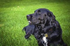 Grande cão Imagem de Stock Royalty Free