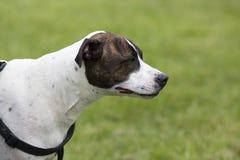 Grande cão, cabeça e ombros marrons e brancos imagens de stock royalty free