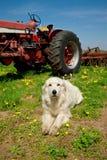 Grande cão da exploração agrícola que levanta na frente de um trator imagem de stock royalty free