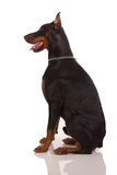 Grande cão do doberman no fundo branco Fotografia de Stock Royalty Free