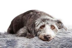 Grande cão do híbrido de Terrier que coloca no tapete da pele Fotos de Stock Royalty Free