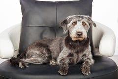 Grande cão misturado da raça na cadeira de couro redonda Foto de Stock
