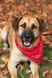 Grande cão misturado da raça no outono Imagens de Stock