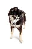 Grande cão misturado da raça que olha para baixo no assoalho Fotografia de Stock Royalty Free