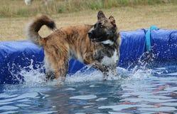 Grande cão misturado na associação imagem de stock