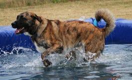 Grande cão misturado na associação fotografia de stock