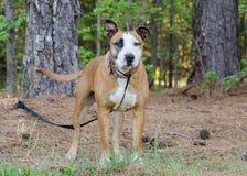 Grande cão-pastor misturado do mastim da raça fotos de stock