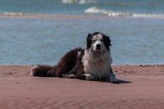 Grande cão a praia imagens de stock