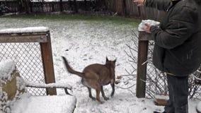 Grande cão que corre em torno da jarda nevado e das bolas de neve de travamento filme