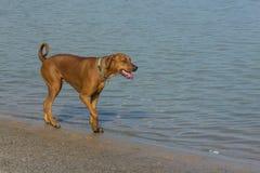 Grande cão vermelho que anda ao longo de uma costa do ` s da lagoa Fotos de Stock Royalty Free