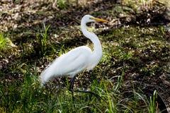 Grande caça branca do egret Fotos de Stock Royalty Free