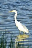 Grande caça branca do Egret para o café da manhã Imagens de Stock Royalty Free