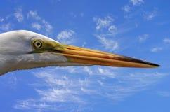 Grande cabeça do Egret Imagem de Stock Royalty Free