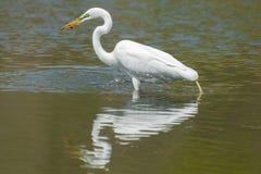 Grande caccia dell'egretta ed a di cibo in zone umide fuori dal fiume del Minnesota - nella riserva nazionale della valle del Min fotografie stock