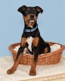 Grande cachorrinho marrom e preto bonito na cesta pequena Fotografia de Stock Royalty Free