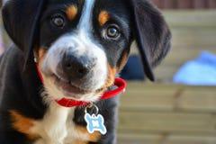 Grande cachorrinho suíço da montanha Imagem de Stock Royalty Free