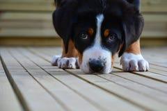 Grande cachorrinho suíço da montanha Imagens de Stock Royalty Free