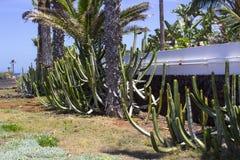Grande cactii naturalizado nas camas do flwer ao longo da parte dianteira de mar em Playa de Las Americas em Teneriffe imagem de stock royalty free