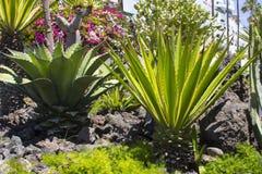 Grande cactii naturalizado nas camas do flwer ao longo da parte dianteira de mar em Playa de Las Americas em Teneriffe fotografia de stock royalty free