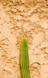 Grande cacto afiado verde que contrasta à parede golpeada dourada imagem de stock