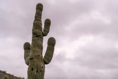 Grande cacto do Saguaro com fundo nebuloso Fotografia de Stock Royalty Free