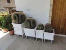 Grande cactus Immagini Stock