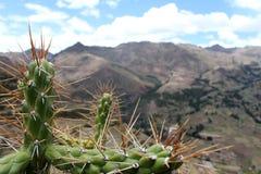 Grande cactus che cresce sul pendio delle Ande nel Perù con il fondo delle montagne nebbiose Fotografia Stock