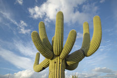 Grande cactus del saguaro e nuvole gonfie bianche in primavera nel parco nazionale ad ovest, Tucson, AZ del saguaro Immagine Stock