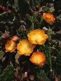 Grande cactus giallo dei fiori fotografia stock