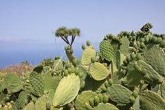 Grande cactus a La Palma, Spagna Fotografia Stock Libera da Diritti
