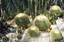 Grande cactus rotondo Immagini Stock Libere da Diritti