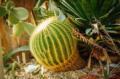 Grande cactus verde della sfera con i grande aghi ed aloe e cactus differenti sui precedenti Fotografia Stock