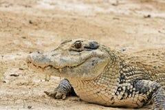 Grande caimano Fotografie Stock