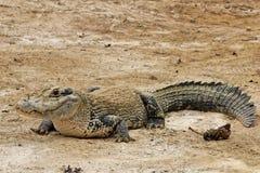 Grande caimano Fotografia Stock Libera da Diritti