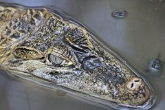 Grande caimano Immagini Stock
